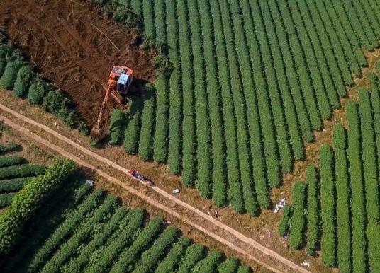 'Thủ phủ chè' Bảo Lộc ở Lâm Đồng có nguy cơ bị xóa sổ